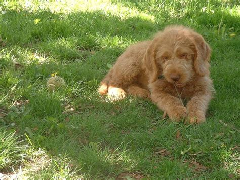 cost of labradoodle puppy labradoodle on grass hi res 720p hd