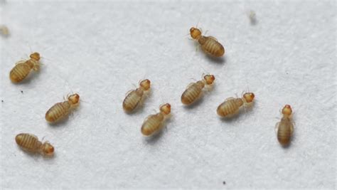 pictures of book lice book lice seen at 10x macro booklice of the psocoptera