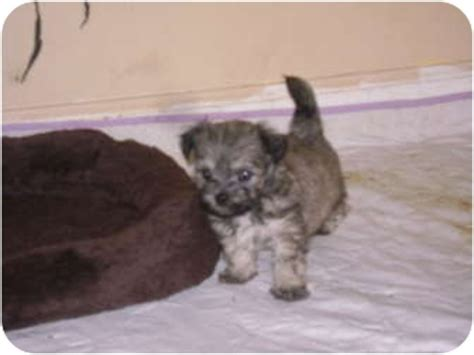 shih tzu puppies rescue nc maltese shihtzu puppies adopted puppy nc maltese shih tzu mix