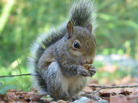 squirrels food confessions of an urban naturalist
