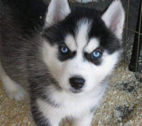 pomeranian puppies for sale in reno nv pomsky pomeranian and husky mix brothers breeds picture