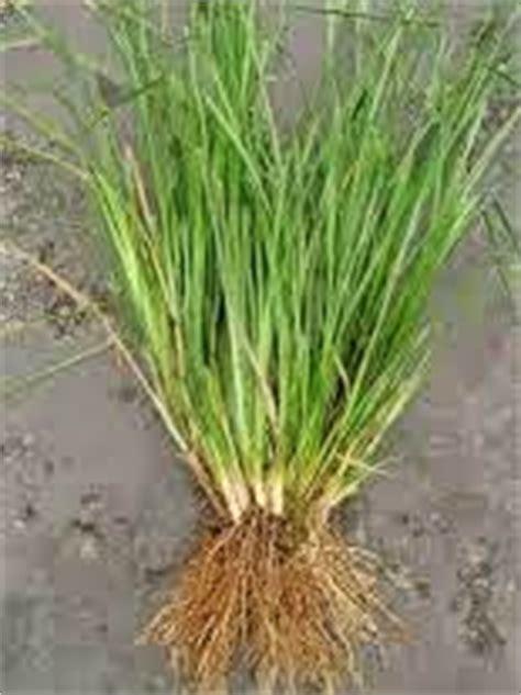Minyak Usar cara budidaya akar wangi rumput vetiver yang cukup menjanjikan bisnis hobi tanaman dan pertanian