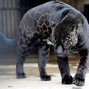 Jaguar Mixed With A Jaguar Leopard Mix The Craziest Things In The World