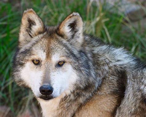 imagenes animales endemicos de mexico reintegrada a su h 225 bitat natural hembra de lobo mexicano