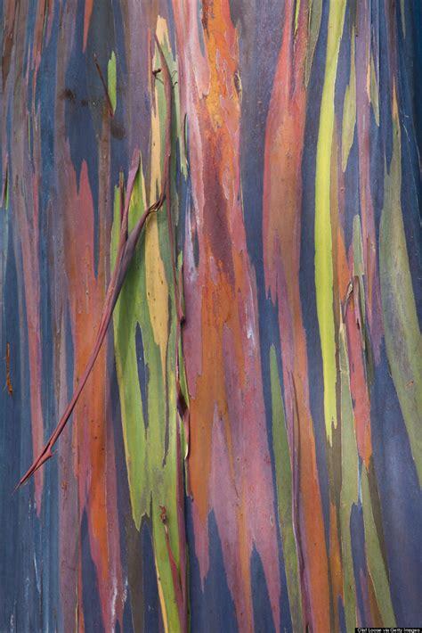 rainbow eucalyptus the 21 most magical spots in hawaii huffpost