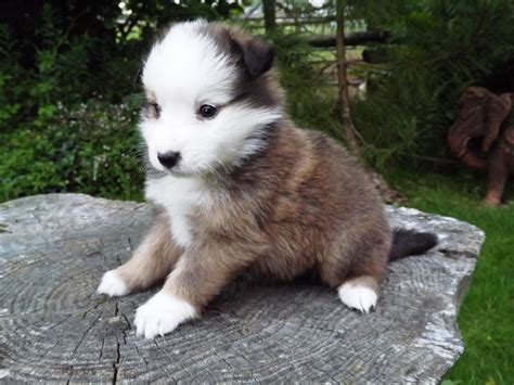 sheltie puppies colorado stunning border collie x sheltie puppies llanwrda carmarthenshire pets4homes