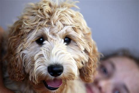 labradoodle puppies rescue pin gaga without makeup before and after on