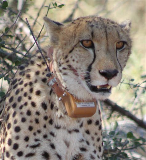 Turns Cheetah by How Evolution Turned Lions And Cheetahs Into Such