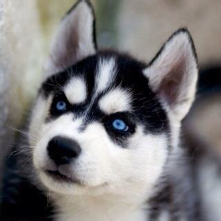 blue eyed names husky names with blue dogs blue siberian huskies and