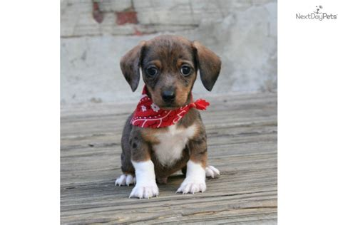 chiweenie puppies for free meet jackson a dachshund mini puppy for sale for 400 jackson the chiweenie