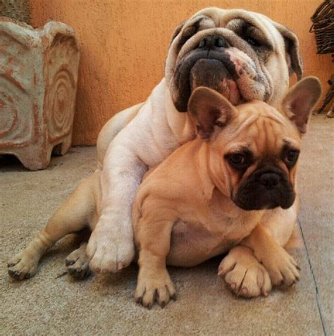 bulldogs puppies this instagram account of bulldog puppies will revolutionize y