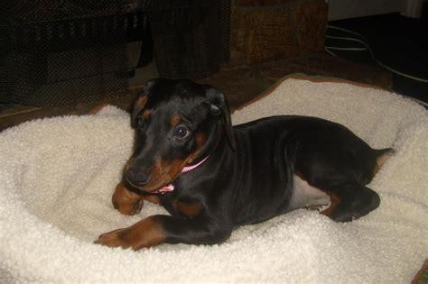 doberman puppies for sale in washington doberman breeder doberman pinscher breeder lind washington