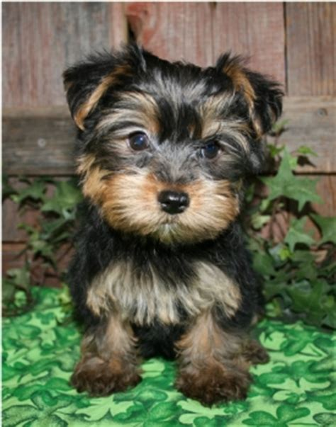 yorkie puppies for free in utah yorkie puppies for x