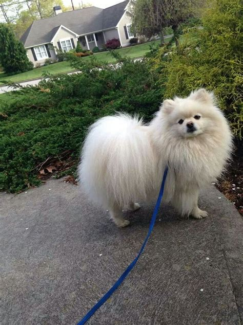 Hairdryer Anjing 462 best images about everything pomeranian on wolves pomeranian dogs and teacup