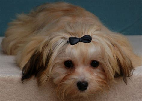 havanese apricot colors colours in havanese havaneser farben info chocolate brown colour color