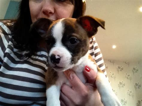 boston terrier chihuahua mix puppies for sale chihuahua boston terrier puppies for sale breeds picture