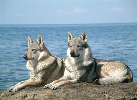 wolf hybrid puppy wolf hybrid puppies breed information pictures