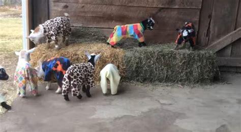 Barns In Maine Watch Mini Goats Playing In Pajamas Fox 4 Kansas City
