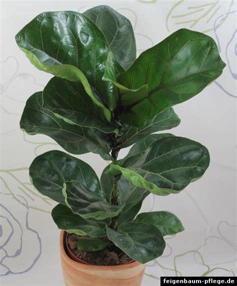 Ficus Lyrata Pflege by Ficus Lyrata Geigenfeige