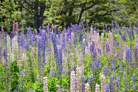 lupini fiori lupini ricordo di viaggio dalla nuova zelanda
