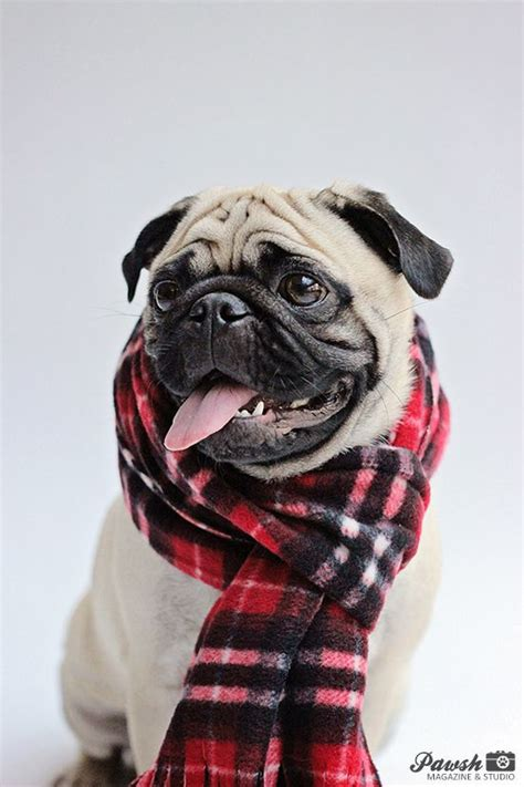 pug magazine pawsh magazine studio pug wearing scarf fashionhound fashion hounds