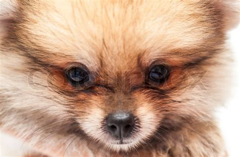 baby pomeranian price baby pomeranian stock photo colourbox