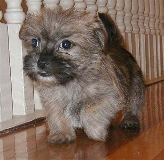 caring for 8 week shih tzu care tzu breed information and pictures