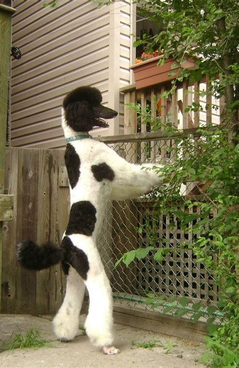 parti colored parti colored standard poodle can someone come out and