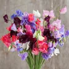 Benih Bibit Biji Bunga Sweet Pea Purple bibit buah mengkudu