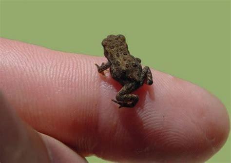 tiny tainy very small frog