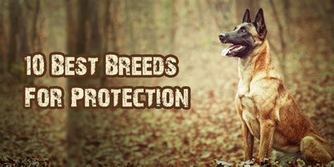 best dogs for protection top 10 guard breeds breed 4u breeds picture