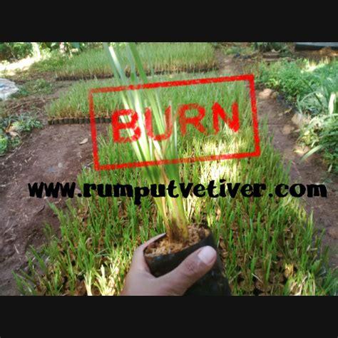 Jual Bibit Vetiver rumput vetiver rumput akar wangi bibit rumput vetiver murah