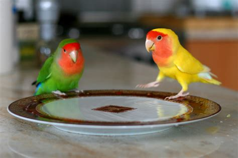 file agapornis roseicollis peach faced lovebird and