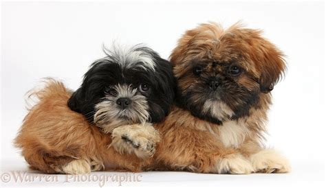 shih tzu puppies black and brown dogs brown and black and white shih tzu puppies photo wp38315