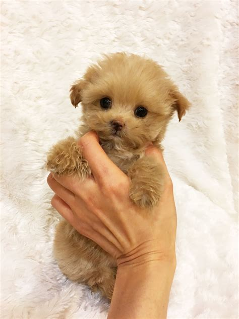 california puppies for sale teacup maltipoo puppy for sale california iheartteacups