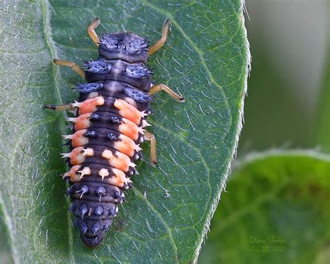 do aphids bite ladybug larvae bite
