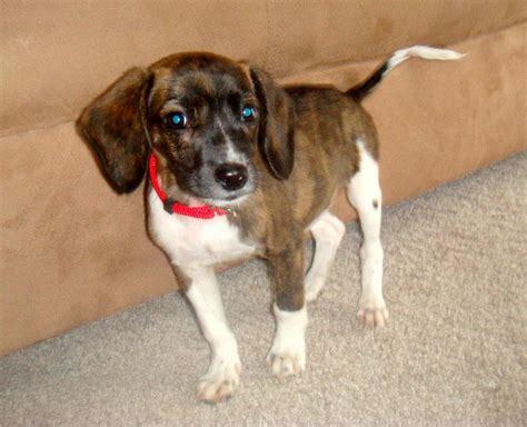 Bagelen Mix bo dach boston terrier dachshund mix info puppies pictures