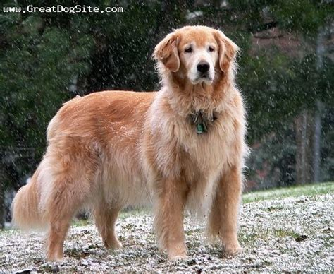can a golden retriever protect you beautiful senior golden golden retrievers rock 6