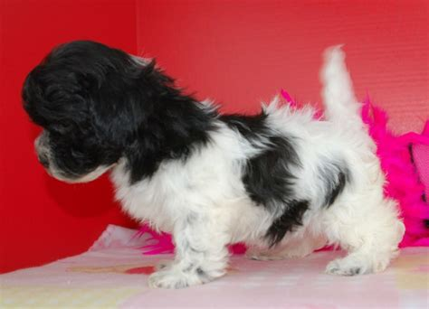 royal flush havanese royal flush havanese puppies for sale black and white 3 ready now sale