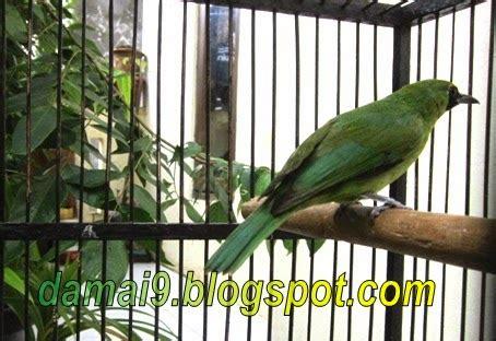 Jual Burung Kacer Mini by Budidaya Burung Dijual Burung Cucak Ijo Mini Pentet