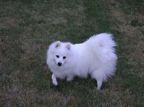 Do Spitz Shed by Japanese Spitz Puppies Rescue Pictures Information Temperament Characteristics Animals
