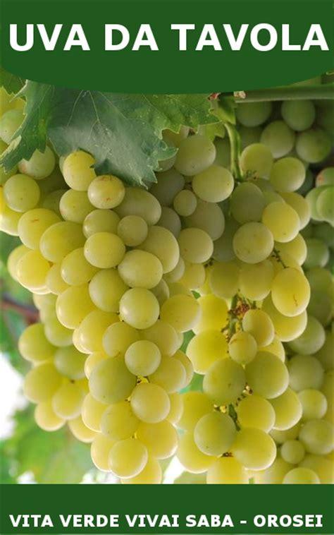 varieta di uva da tavola uva da tavola viti innestate in vaso 10
