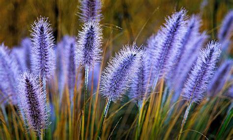 grasses  classand  mariella frostrups pampas
