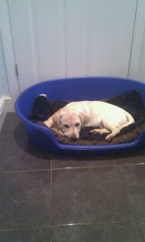 pug labrador cross labrador cross pug romford essex pets4homes