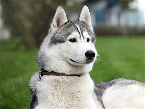 Siberian Husky   Information, Characteristics, Facts, Names