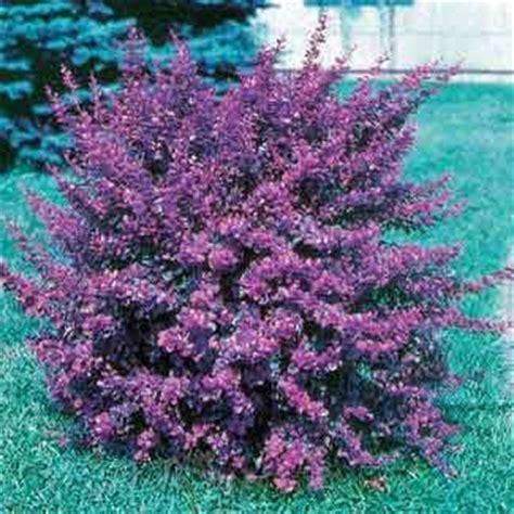best flowering shrubs for sun 1000 images about flowering bush sun on