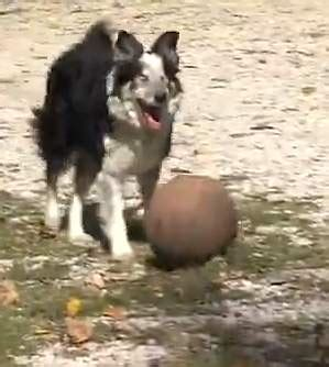 Activities For Blind Dogs Blind Dog S Favorite Activity Is Fetching The Ball Good