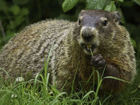 groundhog day s big show secrets of the groundhog revealed treehugger