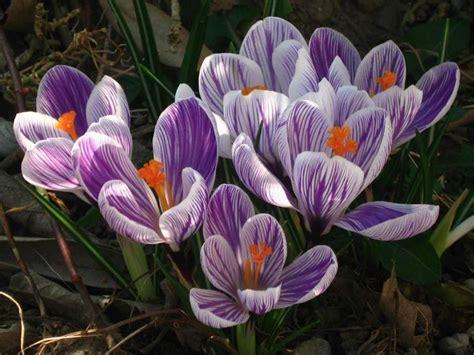 fiore crocus crocus bulbi crocus bulbi
