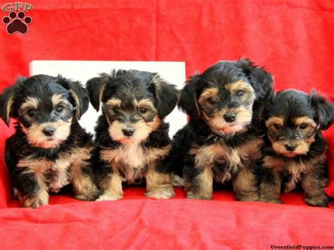 teddy puppies for sale in pa dorkie puppies teddy yorkie chon puppies for sale in gap pa dorkie